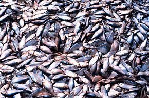 farine de poisson