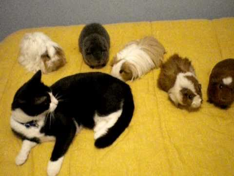 chat cochon d inde