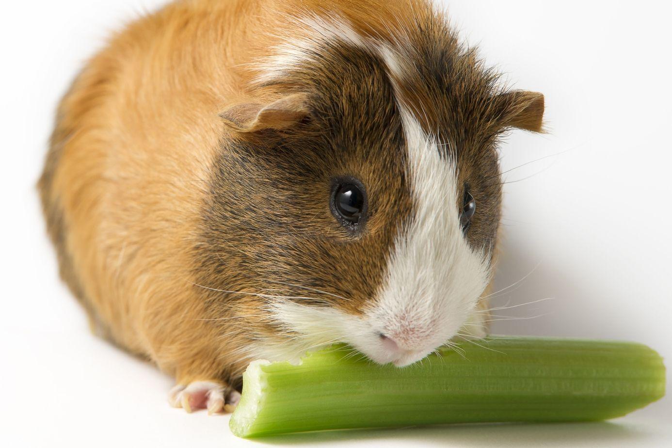 cochon d inde nourriture