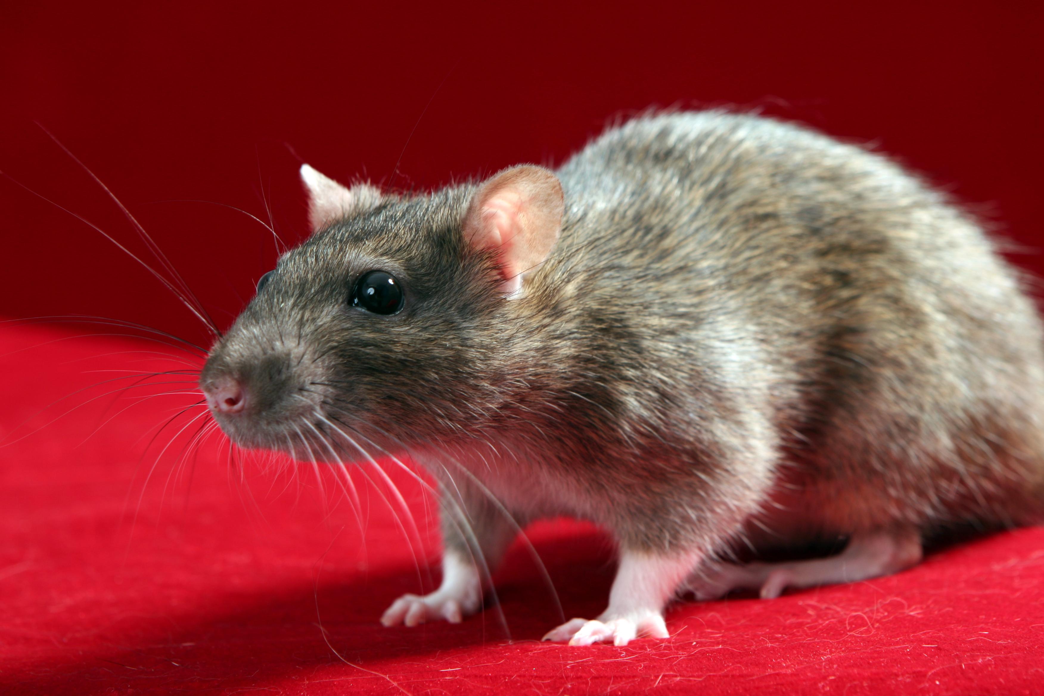 jouet pour rat domestique