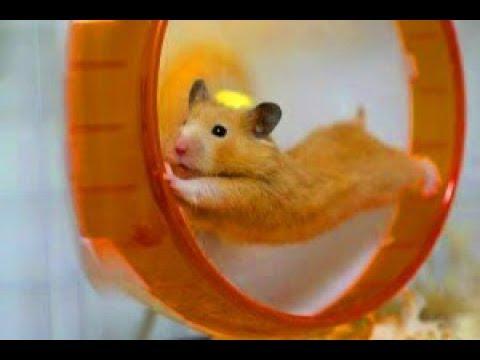 roue hamster